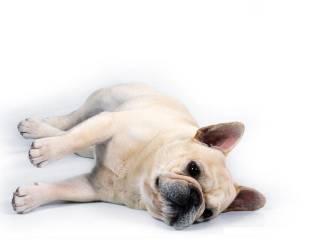 franse-bulldog-bewegende-animatie-0002
