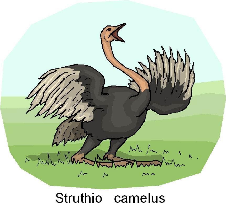 struisvogel-bewegende-animatie-0081