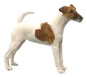 jack-russel-terrier-bewegende-animatie-0007